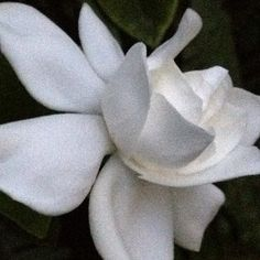 Gardenia opening at dusk © Stacey Merrill - Day 25 of A year in the garden via instagram