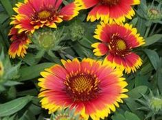 Blanket Flowers grow wild on the side of the road in Oklahoma, but I can't get them to grow in my garden! Drives me crazy!