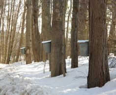 Tapping maple trees tap mapl, mapl tree, main tradit, adirondack life, nova scotia, maple syrup