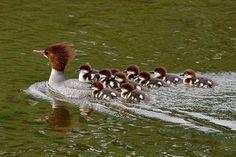 Google Image Result for http://vancouverislandbirds.com/jun2merganser2.jpg