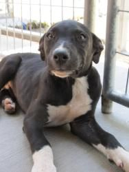 Shamous: HOME CHECK REQUIRED FOR ADOPTION is an adoptable Pit Bull Terrier Dog in Parkersburg, WV. My name is Shamous. I am a sweet little 4 month old Pit Bull mix who was brought to the shelter on Ma...