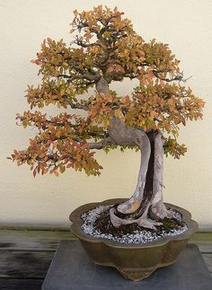 Bonsai: Chinese Elm by Cowtools, via Flickr