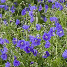 Colorful plants for shade gardens | Geranium cranesbill | Sunset.com