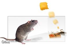 The 2nd mouse always gets the cheese