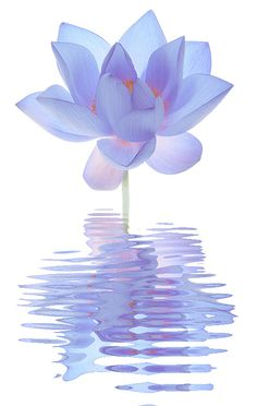 Blue Lotus Flower Reflections @}-,-;--