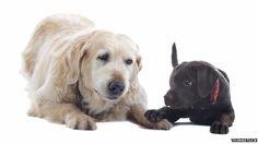 Podemos calcular la edad aproximada de los perros en años humanos,aquí esta una formula que creo la BBC junto con  Kennel Club británico y la base de datos médicos veterinarios de EE.UU.