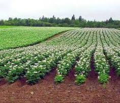 potato fields in Maine