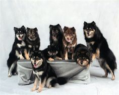Finnish Lapphund Family