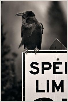 Traffic Cop (Photography by Larry Blackwood, from his 'Opus Corvus' series)