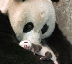 Baby pandas are among the smallest newborn mammals in relation to the size of their mothers.