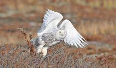 Snowy Owl - West Dennis Beach, Dennis, MA