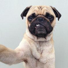 advent, animals, pug life, pet, gangsters, pug dogs, earth, puppi, digital cameras