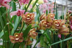 Cymbidium hybrid - See it at The Orchid Show www.chicagobotani...