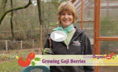 Growing Goji Berries at www.GrowOrganic.com