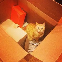 Jack (the cat) in a Nordstrom box.
