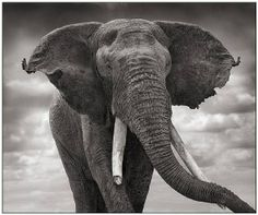 artnet Galleries: Elephant with tattered earsAmboseli by Nick Brandt from Camera Work