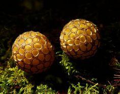 Beech Forest Fungi, New Zealand