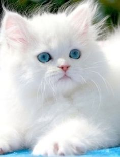 kitty cats, blue, pet, white cats, ragdoll kittens, persian cats, animal, eye, snow white