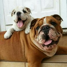 The Cutest Bulldog Family You'll Ever See