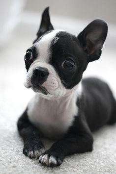 What was that? (Boston Terrier puppy)  it doesnt get much cuter. i mean really.