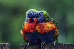 colorful birds, friends, nature, parrots, colors, australia, rainbows, feather, animal photos