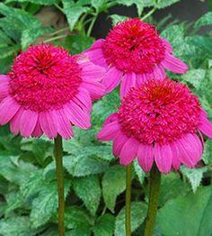 Echinacea Gum Drop,buy Coneflower for sale,Plants on-line-Plant Delights Nursery, Inc.
