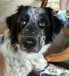Lulu is mostly Englih Setter. She is grace,  elegance and beauty in a exuberant fun loving body of fur..After spending 3 weeks in a shelter, her lust for life and some one to call her own is contagious. She is learning that its ok to relax an just...