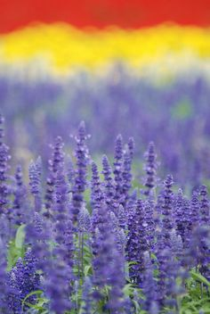 Lavender, Furano, Hokkaido, Japan