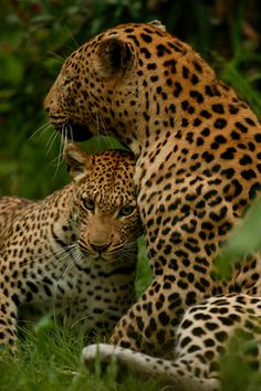 Male and female leopard in a courting display.