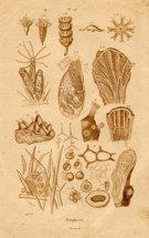 "zoophytes french 1864 sepia engraving  7 x 11"" $25"