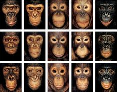 Apes orphaned by the bushmeat trade