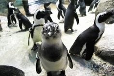 """""""Well, good morning to you too!"""" Check out some awesome animal facts about the African penguin on our website - http://goo.gl/yvzMgL"""