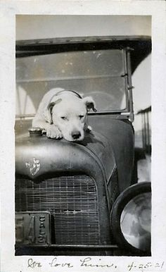 Vintage photo of pit bull
