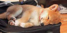 Shiba Inu puppy nap
