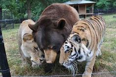 They are bonded together forever by their early experiences despite their obvious differences. | 20 Pictures Of A Lion, Tiger, And Bear Who Love Each Other Despite Their Differences
