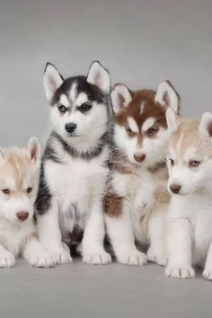 Cute Husky puppies of different colors. - http://animalfunnymemes....