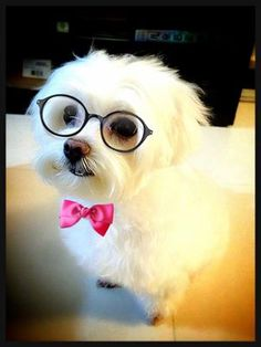 smart and sophisticated maltese