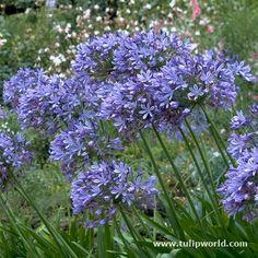 plant, futur garden, flower garden, perenni border, blue, agapanthus, garden idea