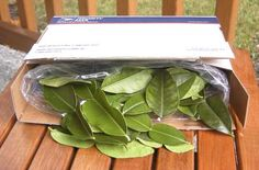 Wild Lime Leaves - essential for Thai cooking! These will keep indefinitely in your freezer and thaw in just seconds.
