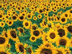Sunflowers...so cheery