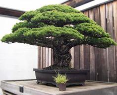 John Marshall :   The 388 Year-Old Bonsai that Survived Hiroshima attack.