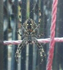 Species: female Araneus diadematus - the Garden Cross spider  Credit: James Walsh