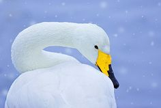 A picture tells a thousand words: share this stunning image by Ben Hall of a Whooper swan (Cygnus cygnus) in snowfall, and convey the christmas spirit to your loved ones!