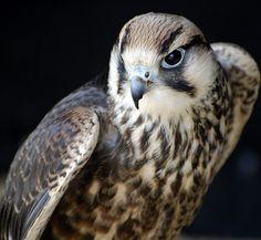 Saker Falcon ~ fabulous...