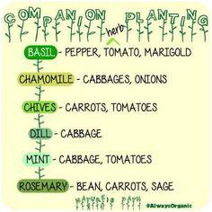 Companion Herb Planting