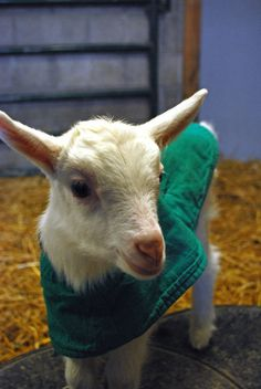 Farm Sanctuary's new baby goat. I love him and his lil' green jacket.