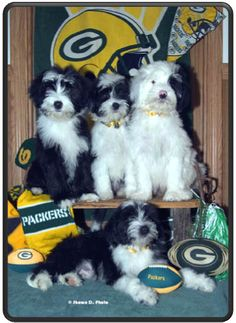 Yep, tibetan terriers can be PACKER FANS TOO!