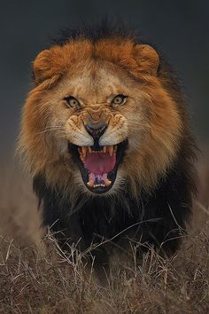 What did you do to make this lion angry!? Just kidding he has to sneeze ... Maybe