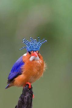 Malaquita Kingfisher (Alcedo cristata)