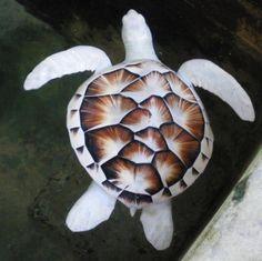 Tartaruga albina encontrada em um projeto de conservação de tartarugas, no Sri Lanka.